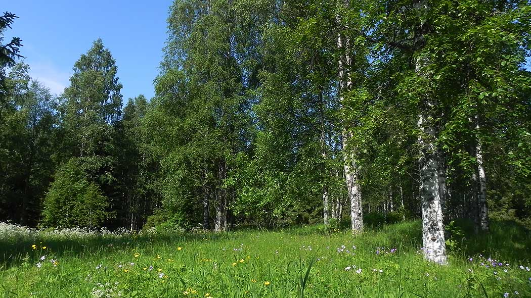 Image of a summer meadow bounded by birches. The grass and flowering meadow plants grow tall in the meadow.