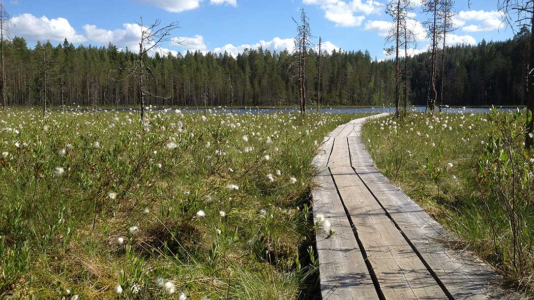 Wooden footpaths lead across a marsh towards a lake. The white flowers of Eriophorum latifolium stand out against the marsh.