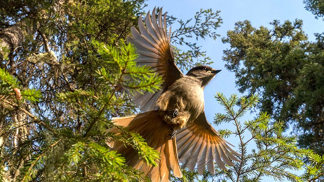A siberian jay spreads its wings as it lifts off from a branch.