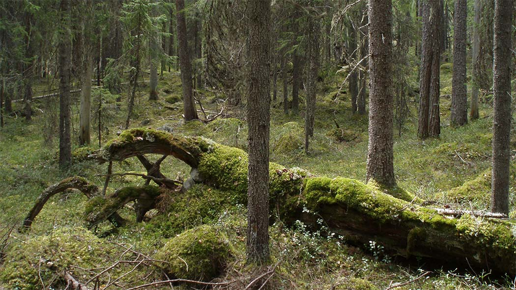 A tree has fallen in a coniferous forest and is slowly decomposing under some mosses.