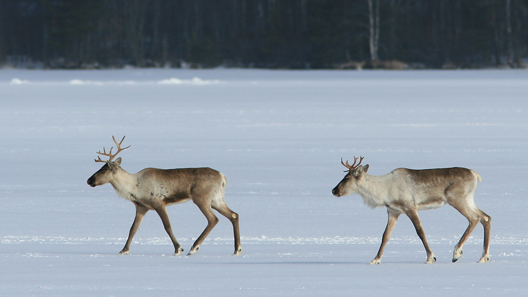Two Finnish forest reindeer with horns are walking on top of a frozen lake that is covered with snow.