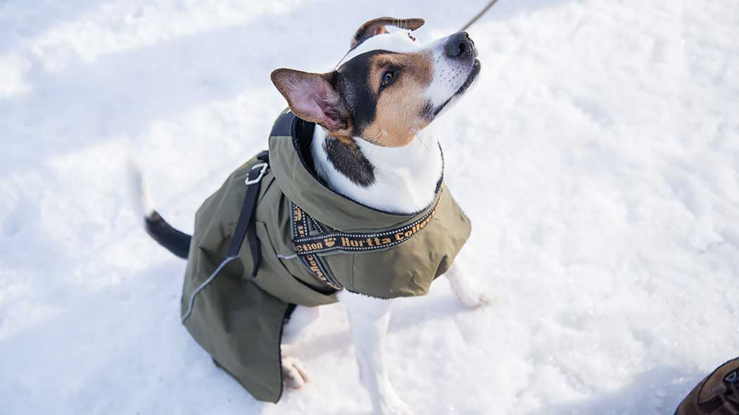 A leashed dog is sitting on the snow in a dog's wintercoat.