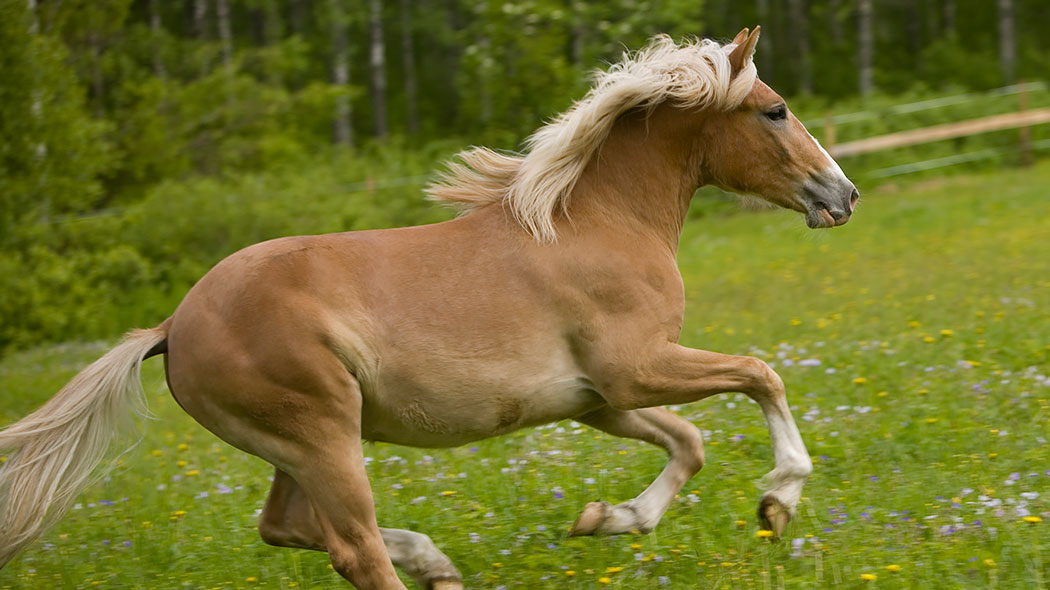 A Finnhorse galloping freely on a meadow.