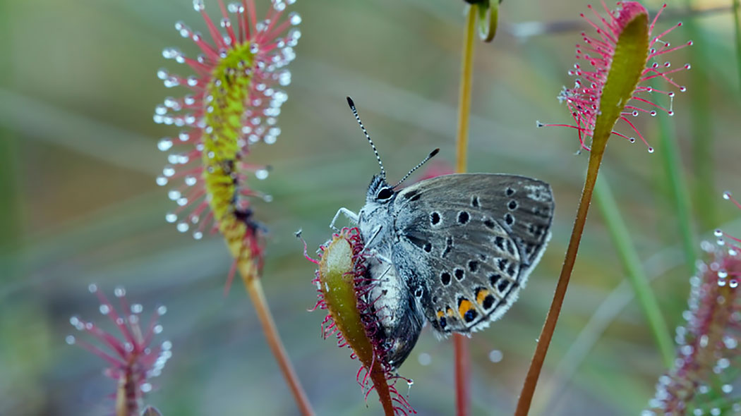 The Cranberry Blue (Plebeius optilete) falls prey to the English sundew (Drosera anglica). Photo: Jari Kostet