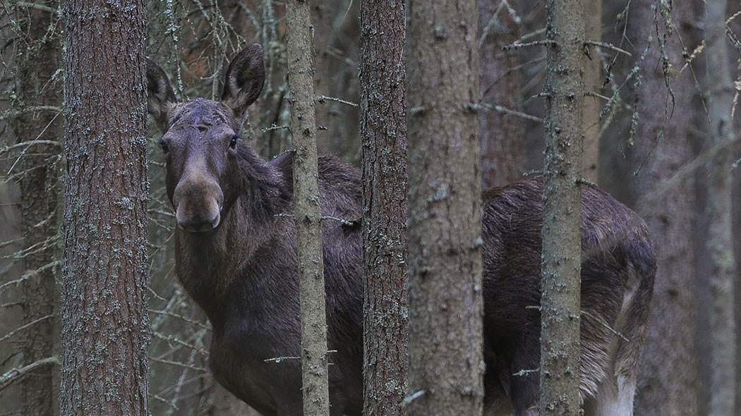 A moose is lurking behind the trees.