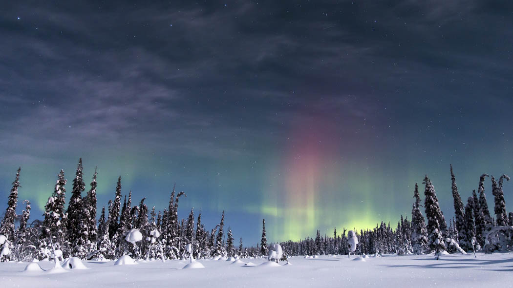 Northern lights over a snowy spruce forest.