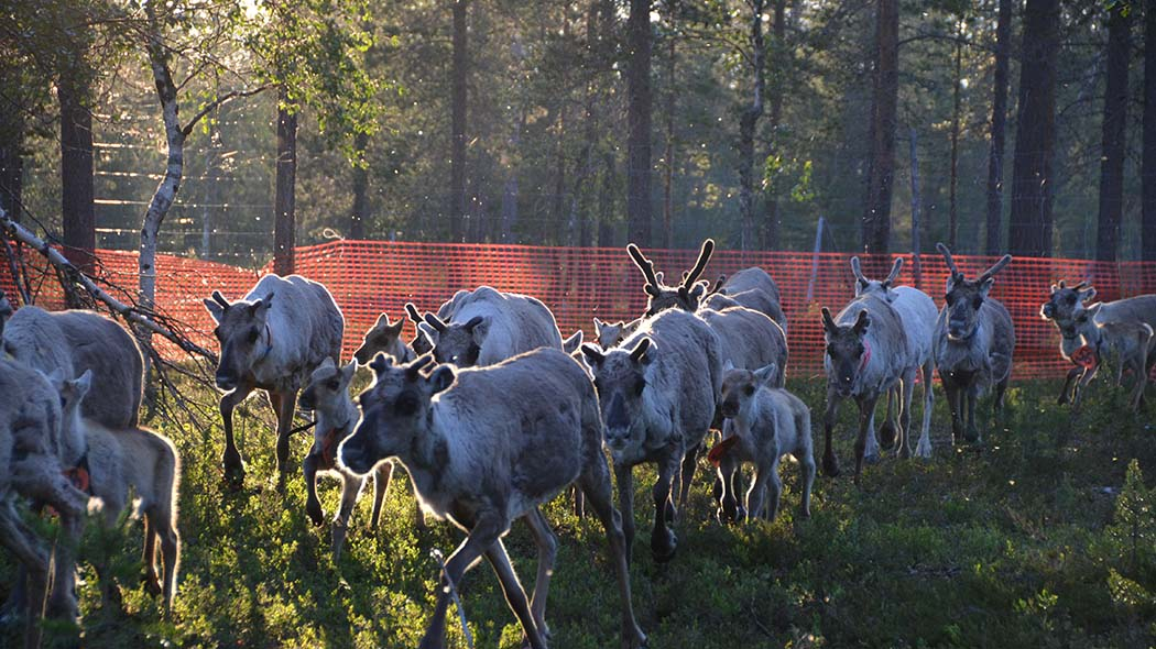 Reindeers and mosquitos in the summer night. Photo: Aini Magga