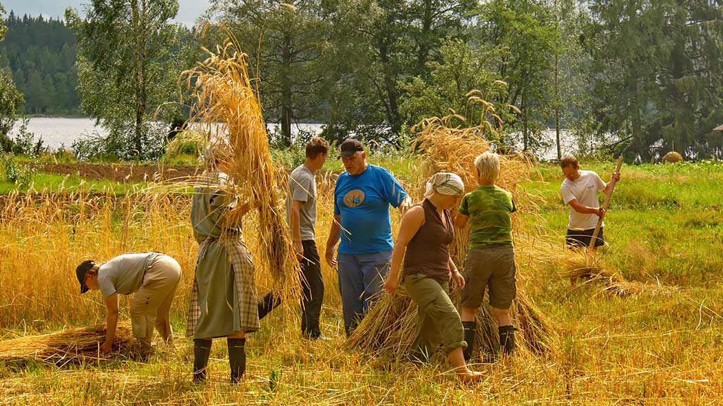 A group of hikers on a summery field collecting rye for sheaves.