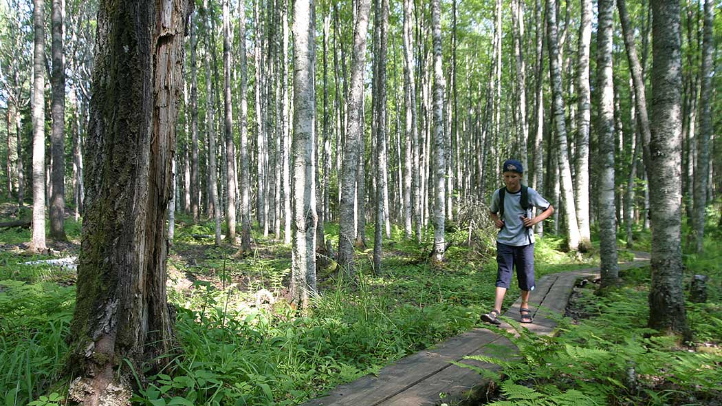 A wooden footpath leads through a bright deciduous forest. A hiker with a backpack is walking along the footpath. The dominating tree in the forest is birch with occasional aspen. The shrub is bright green and the sun is shining between the branches.