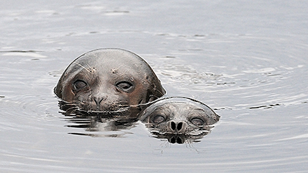 The heads of two Saimaa ringed seals can be seen above the water surface.