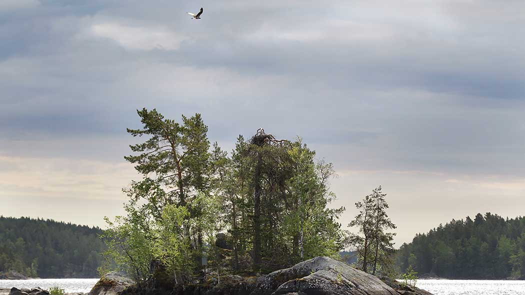 Osprey is flying above an island. There's a ospery's nest in the top of the old pine on the island.