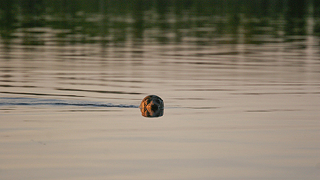 A Saimaa ringed seal swimming in a calm lake. Only its head can be seen above the surface.