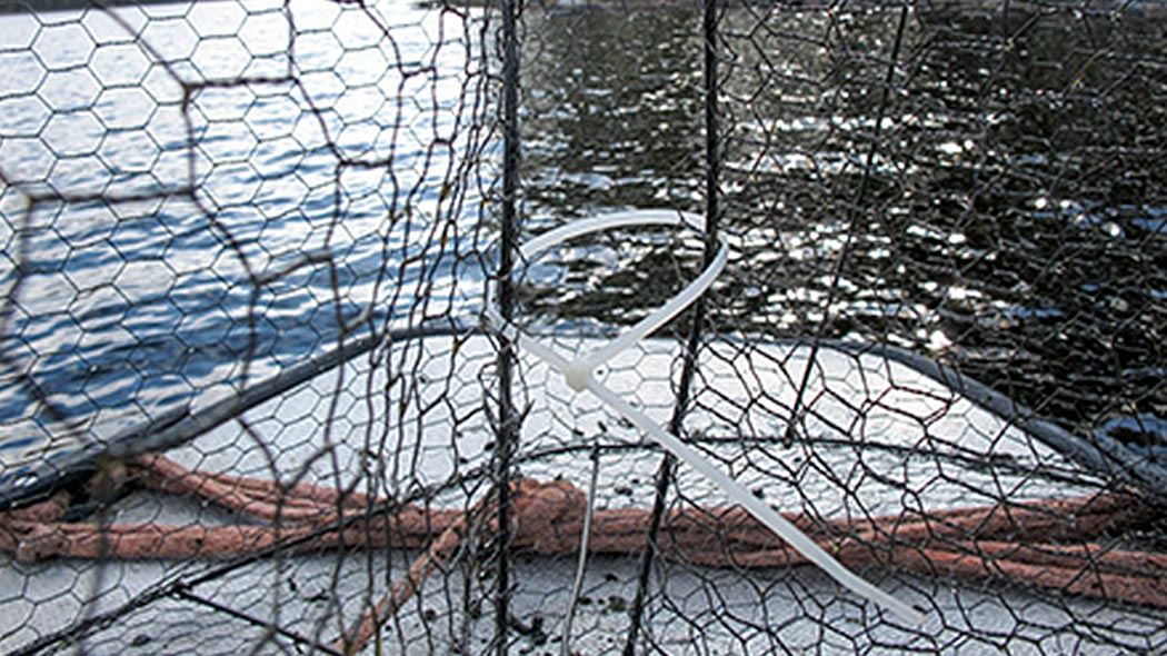 The size of the mouth of a fish trap has been reduced with zip-ties.