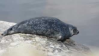 Saimaa ringed seal. Photo: Miina Auttila
