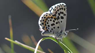 Chequered blue butterfly. Photo: Teemu Rintala