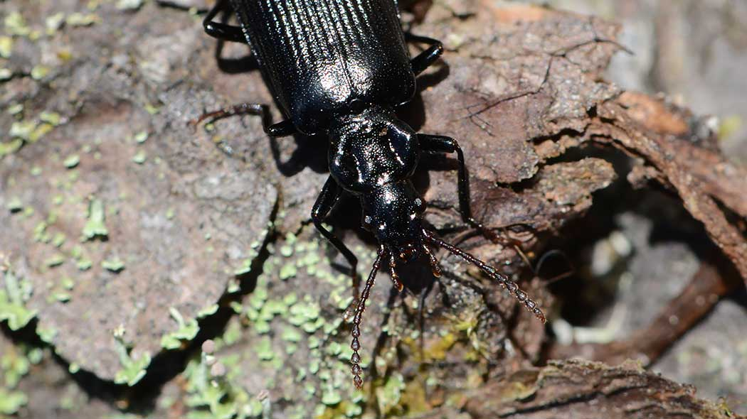 A great, black beetle is lying on pine bark.