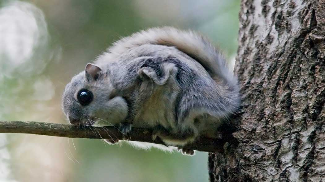 A flying squirrel on a small tree branch.