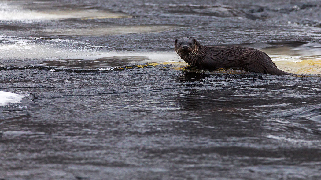 Otter in flowing water, looking towards. Ice and snow can be seen all around.