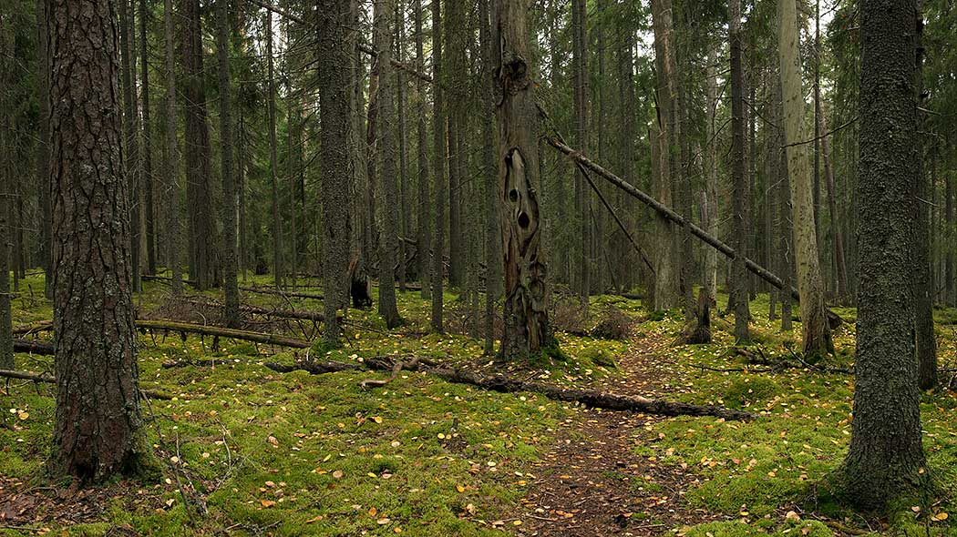 The old-growth forest at Multiharju. Photo: Kari Leo