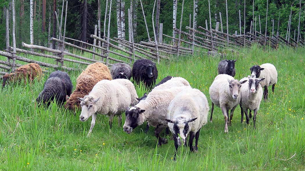 Sheep on a summery pasture. A wooden fence and a forest can be seen in the background.