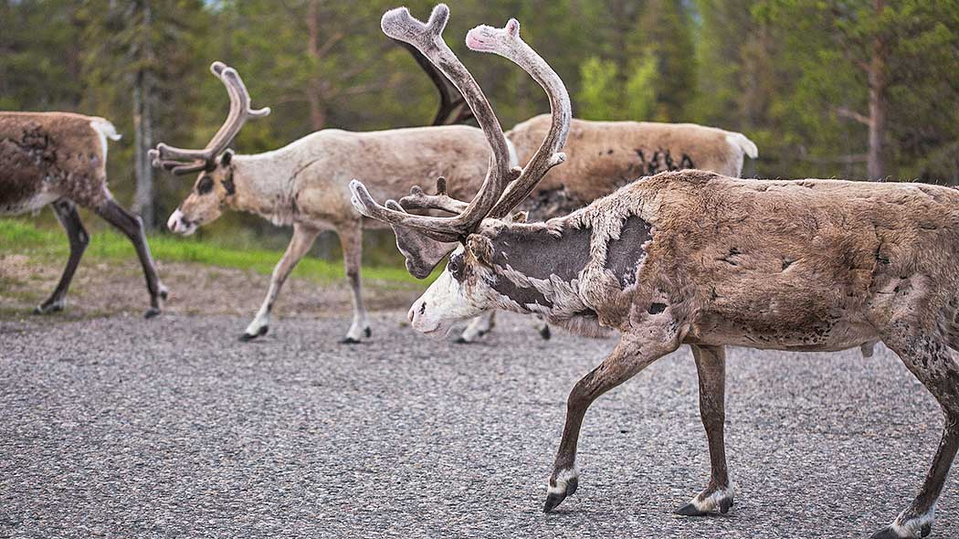 Reindeer are walking on the road.