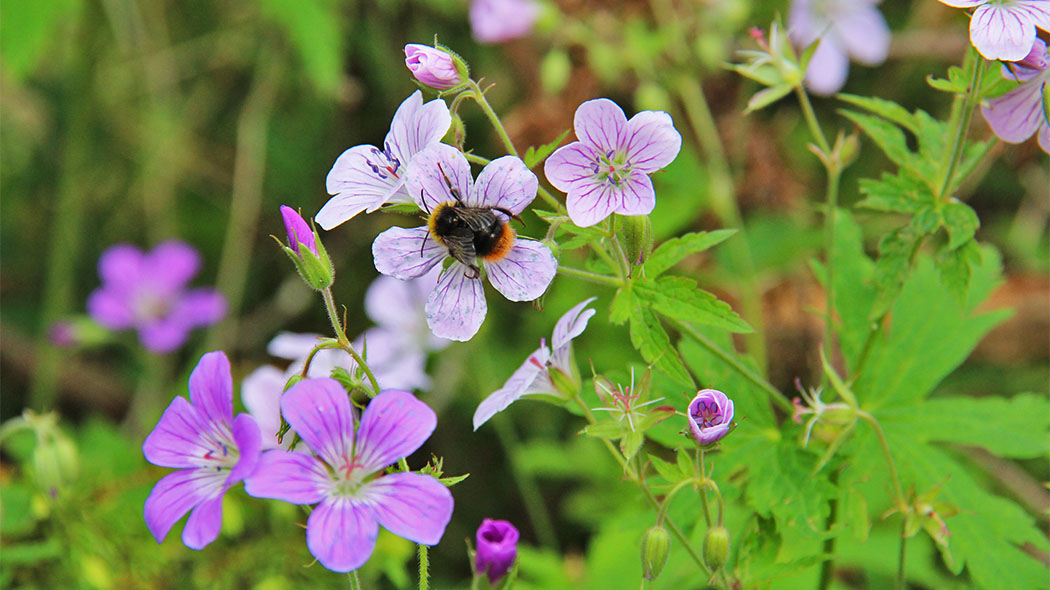 A Bumble-bee on a Wood Crane's-bill (Geranium sylvaticum). Photo: Maarit Kyöstilä.
