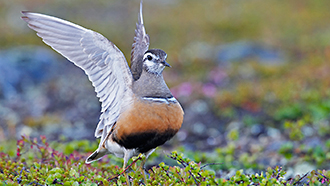 Dotterel (Charadrius morinellus). Photo: Markus Varesvuo