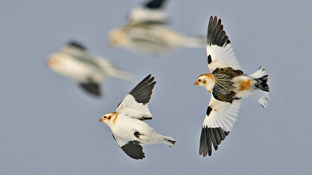 Snow Buntings. Photo: Markus Varesvuo