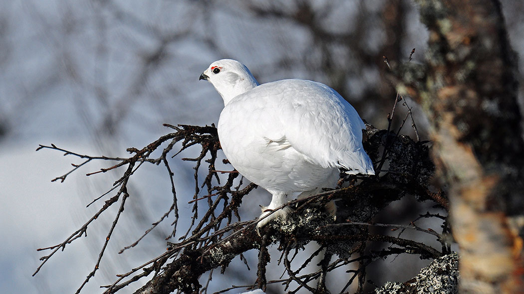 Willow Ptarmigan (Lagopus lagopus) lives in Mountain Birch forests. Photo: Seija Olkkonen