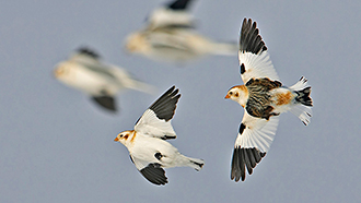 Four black and white Snow Buntings flying on grey sky.