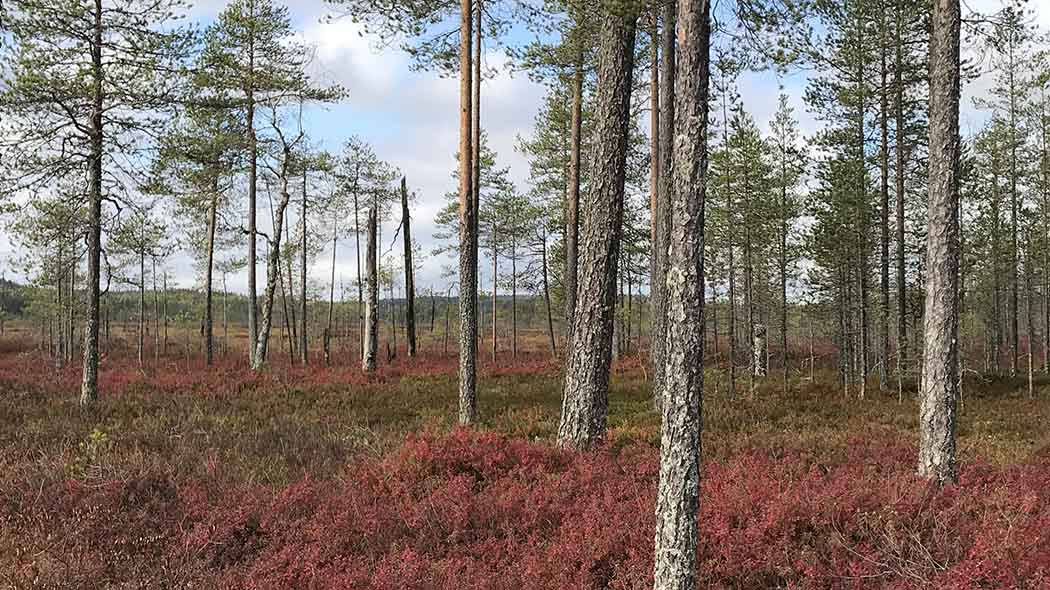 Sparsely growing trees and some shrubs growing at the forest floor. There is peatland at the background.