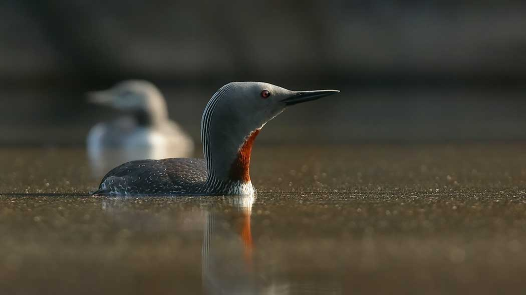 A red-throated diver swimming in the calm lake. Another red-throated diver swimming behind it.