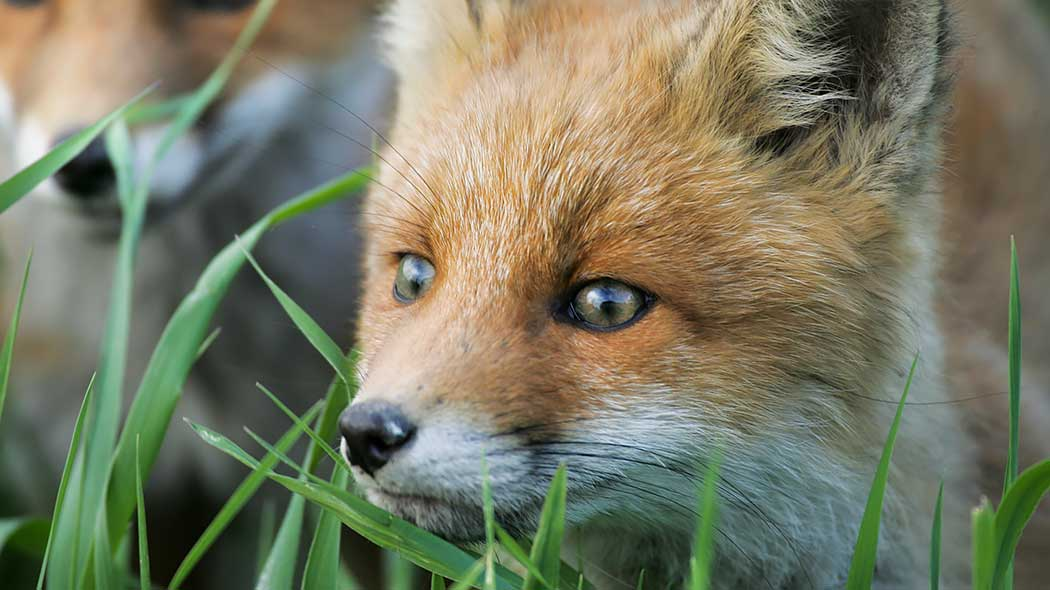 A fox peeking out of the grass. The nose, eyes, and ears are visible.
