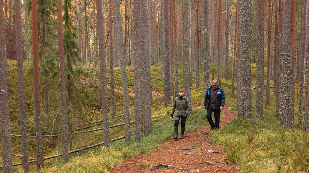 Two hikers are walking in the pine forest. Some of the trees have fallen down.