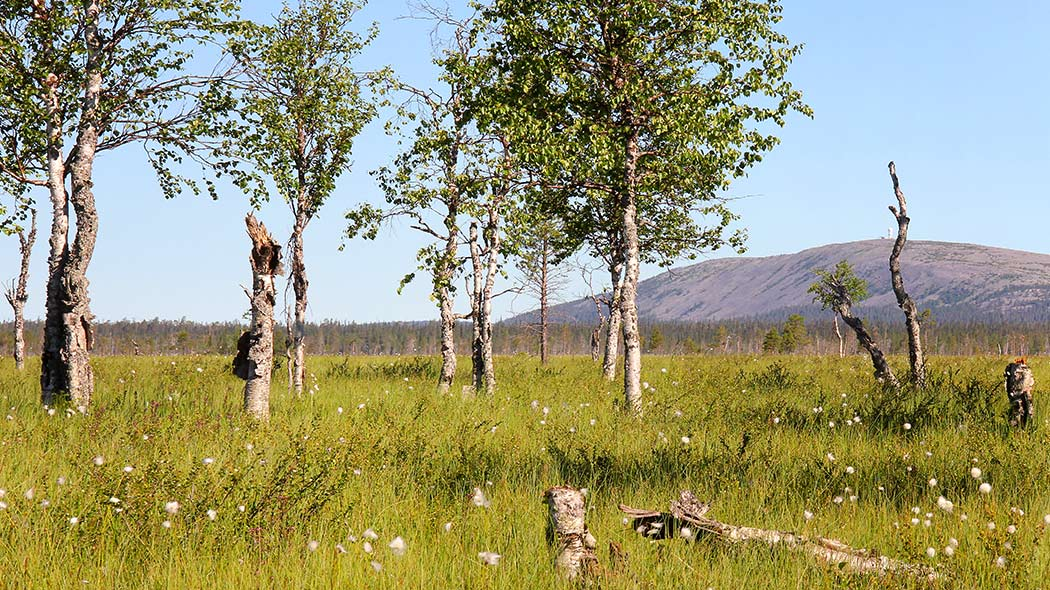 A mire with some birches and cottongrasses and a fell in the background.
