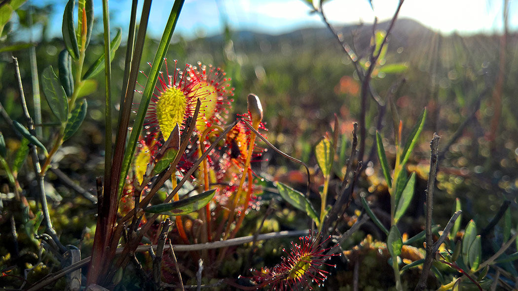 A close-up of a great sundew in a mire bathing in sunshine.