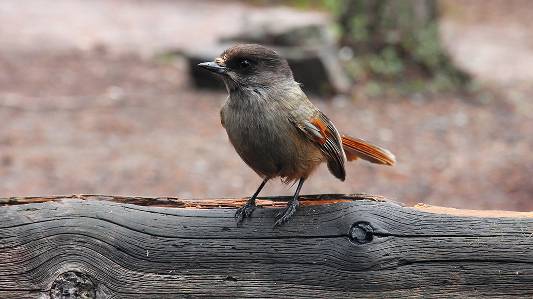 A Siberian jay on a logwood block.