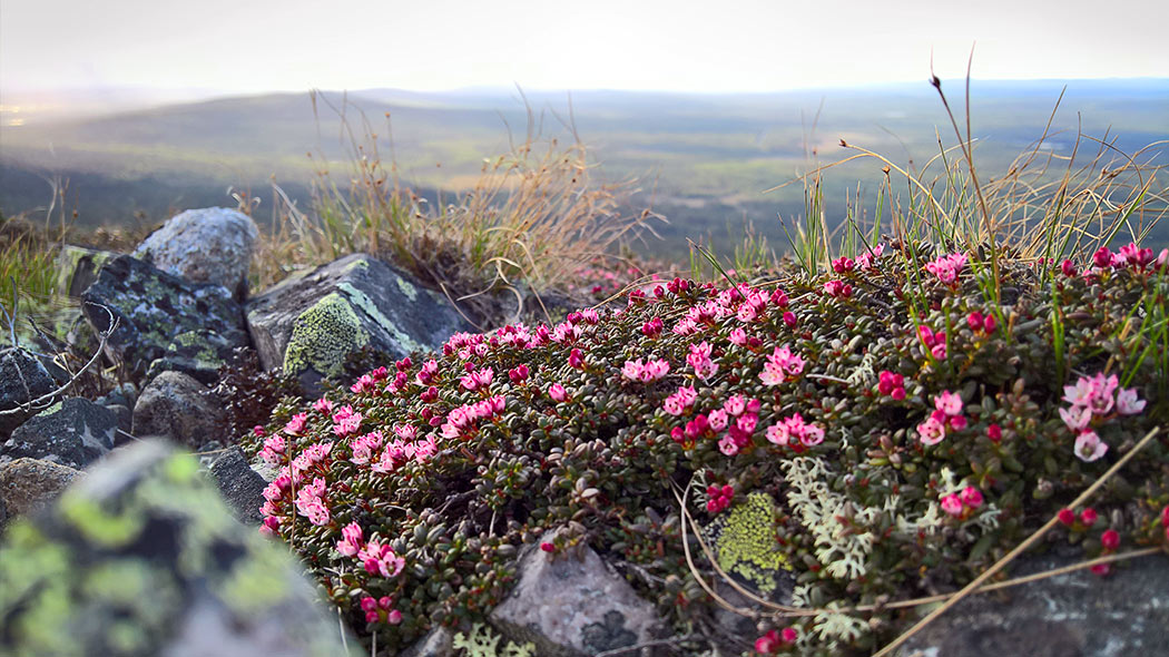 A creeping azalea and rocks with a fell in the background.