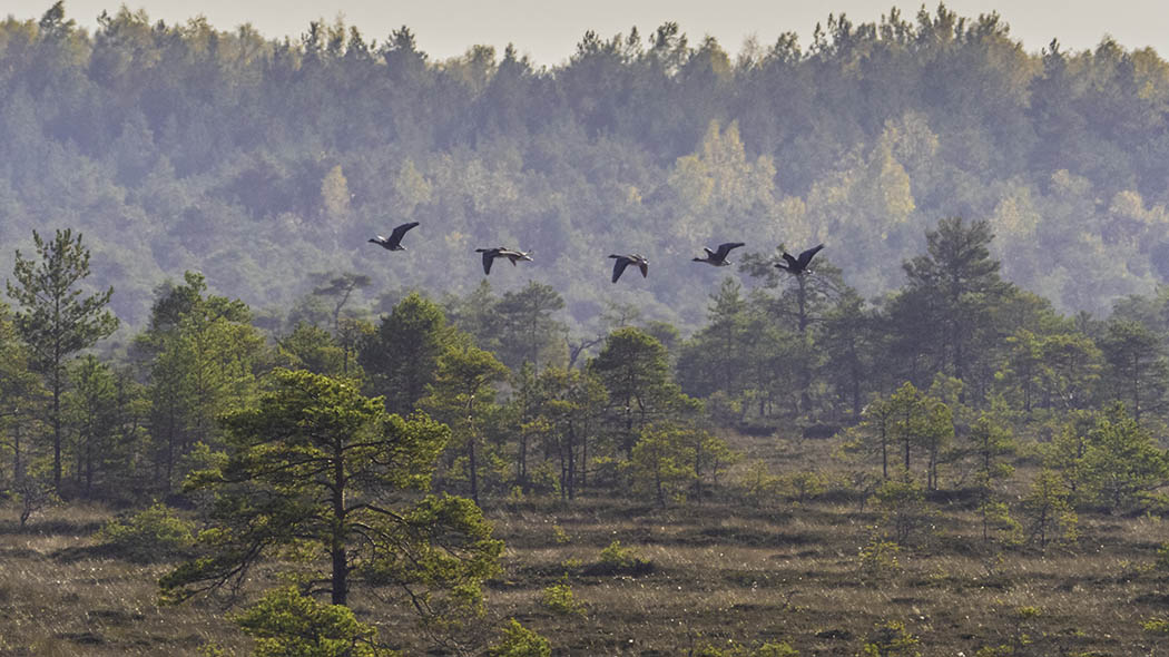 A flock of geese flies over a mire. Small pines grows on the mire and in the background there is forest..