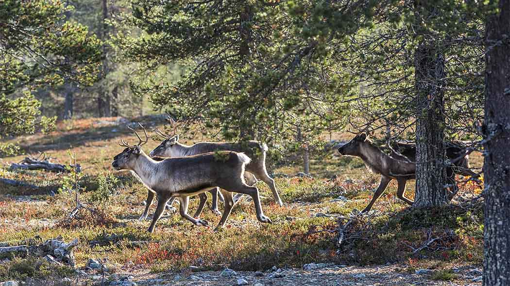 Four reindeer in an open pine forest. It is autumn.