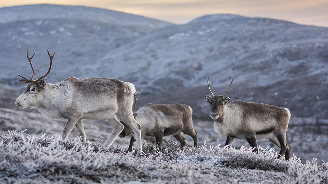 : Three reindeer on a frosty mountain slope. Fells in the background.