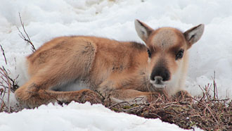 Newborn reindeer vasa in the snow.