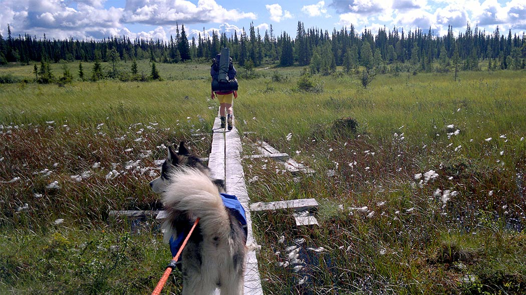 A person with a large backpack going along duckboards at a mire with a dog on a leash. Cotton grass is blooming and the weather is cloudy.