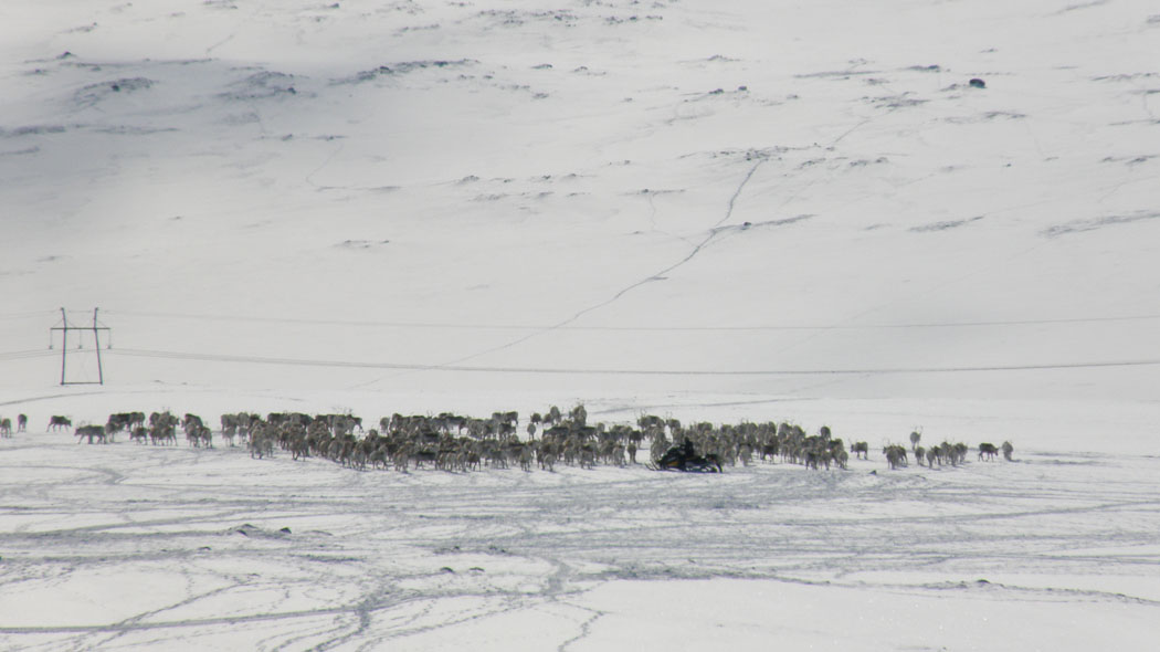 Reindeer being collected into round-up in Kaldoaivi herding co-operative. Photo: Petteri Polojärvi/MH.