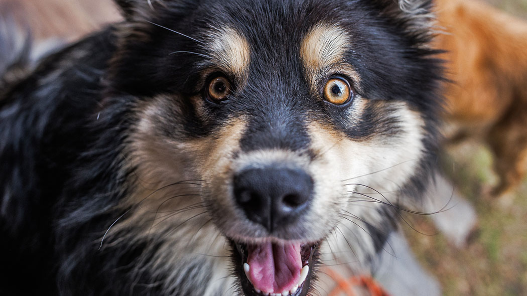 A close-up of a Finnish lapp-dog looking at the camera with its mouth wide open.