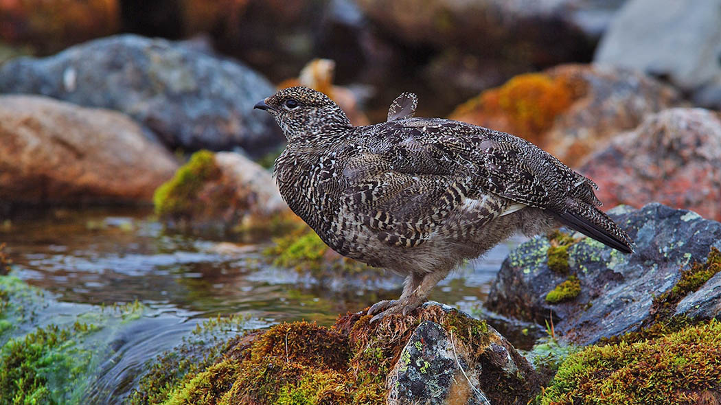 Rock Ptarmigan (Lagopus muta) in summer. Photo: Sauli Koski.