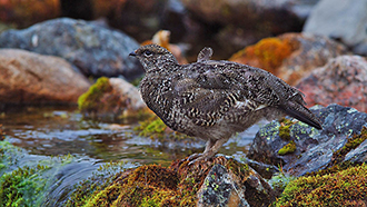 A ptarmigan in its summer dress standing on a stone next to the creek.
