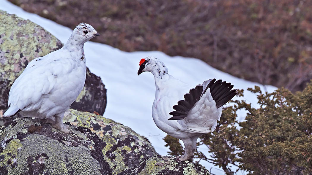 Two Ptarmigans in their winter dress standing on a stone. There are fell vegetation and snow in the area.