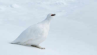 Rock Ptarmigan (Lagopus muta). Photo: Seija Olkkonen