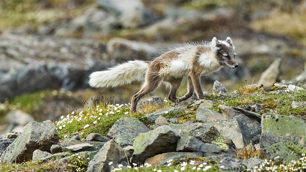 The Arctic Fox (Vulpes lagopus). Photo: Vastavalo/Risto Raunio